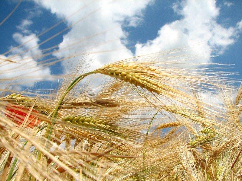 mesa-habla-trigo
