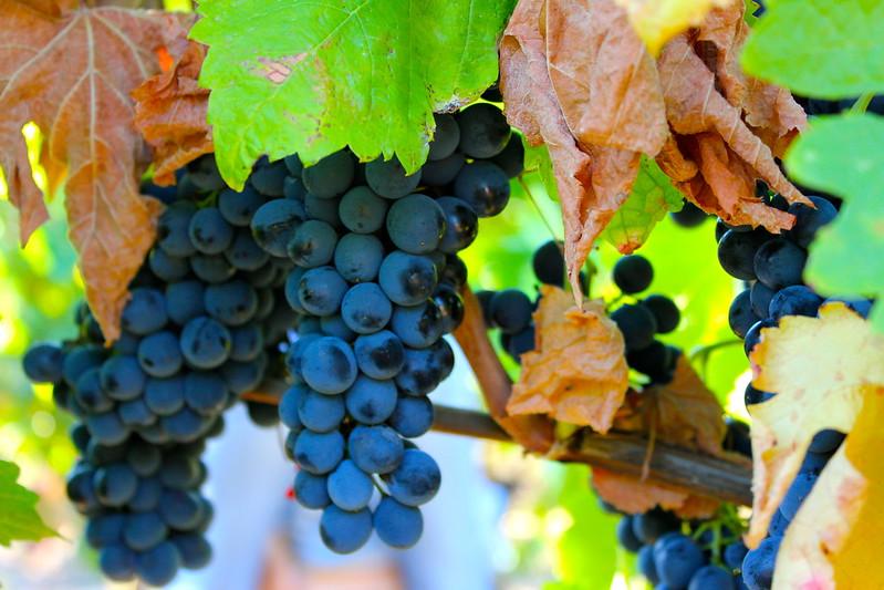 mesa-habla-uvas-syrah