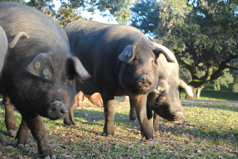 mesa-habla-esencia-pura cerdo