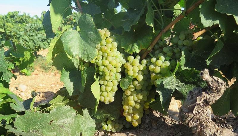 mesa-habla-uvas-chardonnay