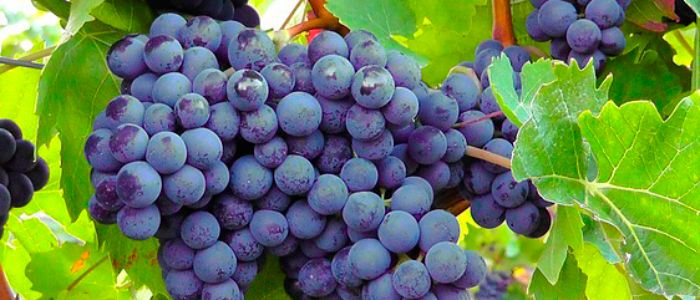 mesa-habla-uvas-manto-negro