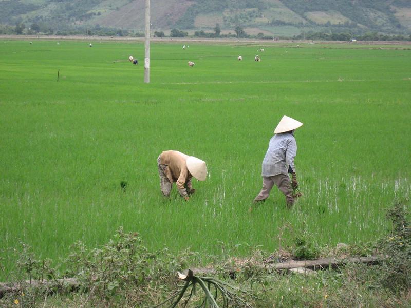 mesa-habla-campos-arroz-china