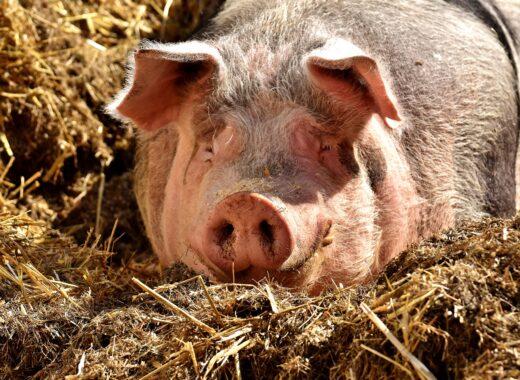 mesa-habla-cerdo