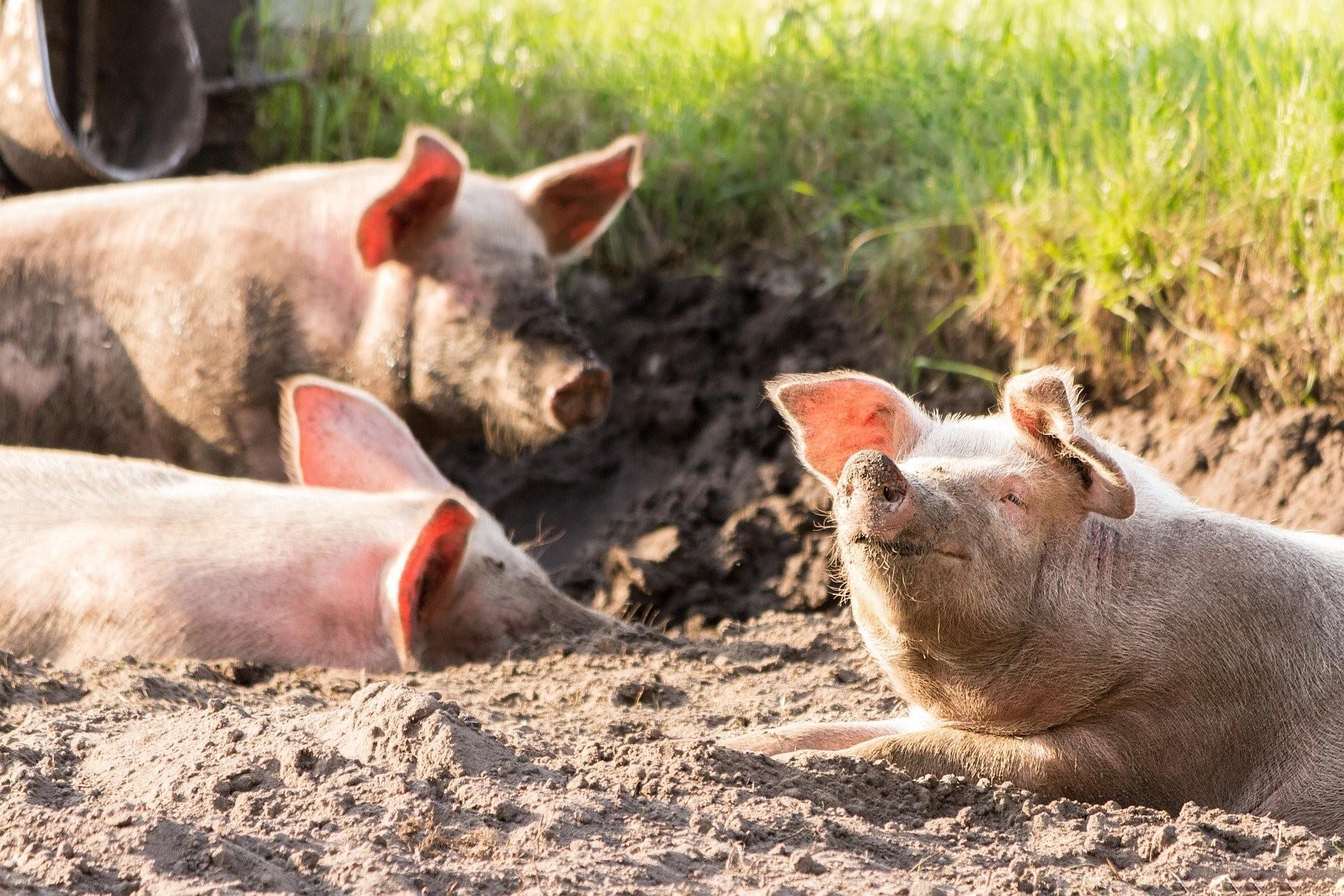 mesa-habla-cerdos