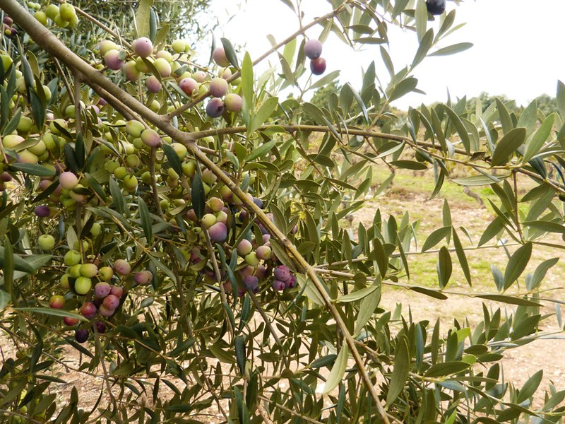 mesa-habla-olivas