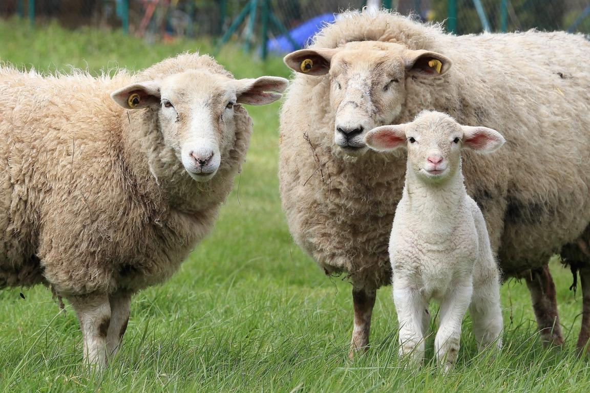 mesa-habla-ovejas-cordero